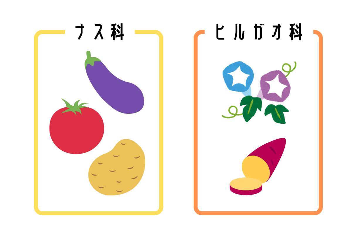 サツマイモ,ヒルガオ科