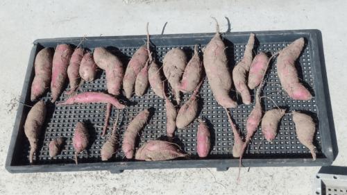 サツマイモ,トンボ栽培