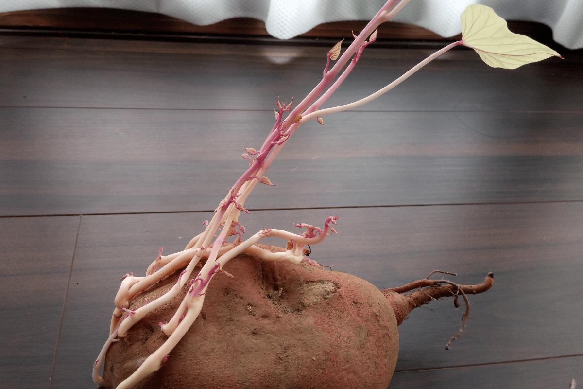 サツマイモ,芽